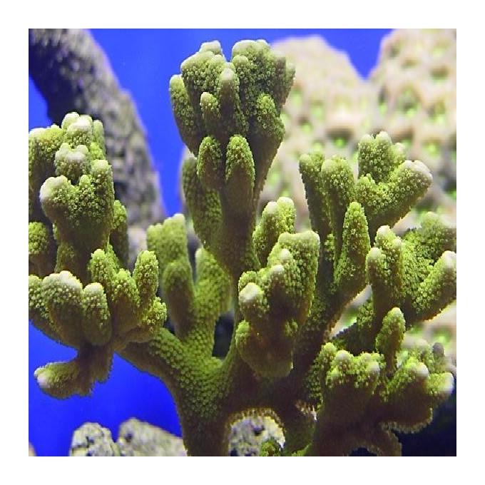 Coral montipora digitata green peq