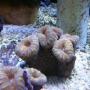 Coral Lobophyllia aussie pq