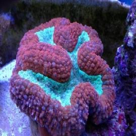 Coral Lobophyllia aussie gr