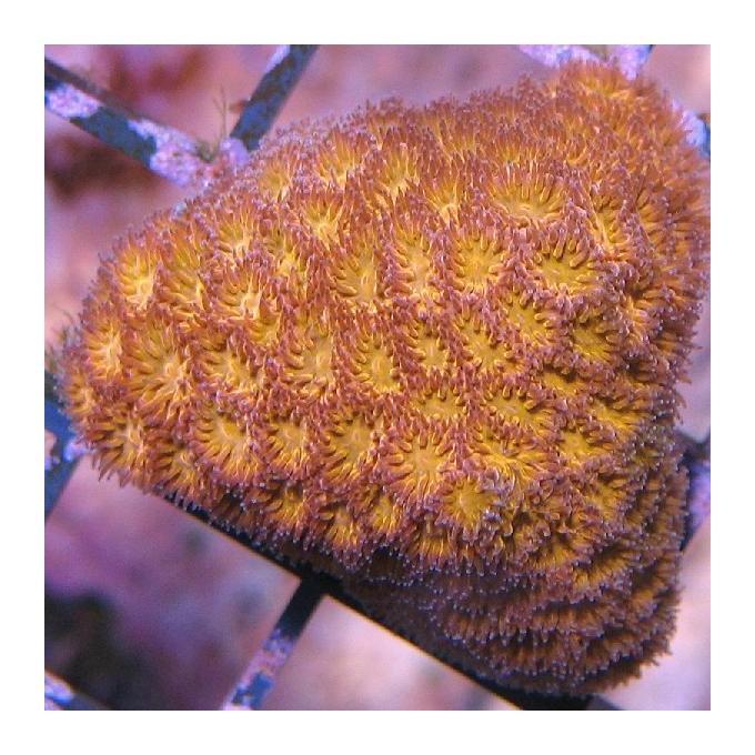 Coral lepstatrea orange aust
