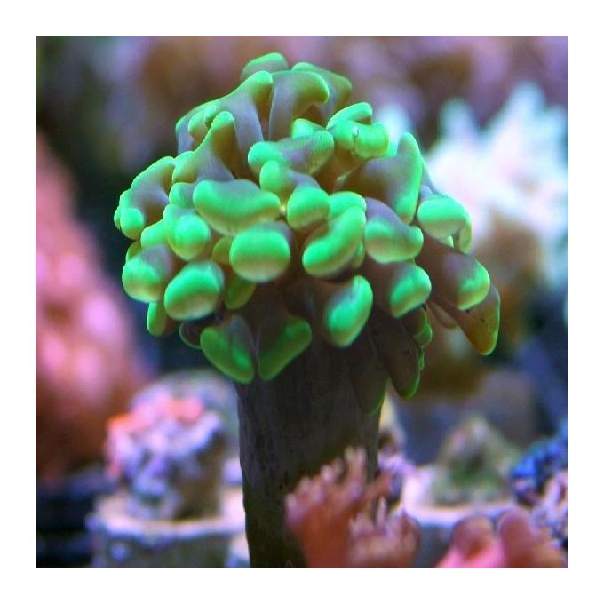 Coral Hammer Green Met 01 Boca
