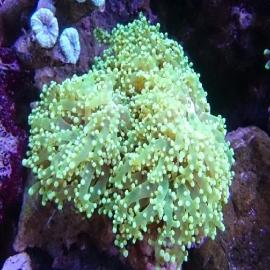 Coral Frogspawn wall