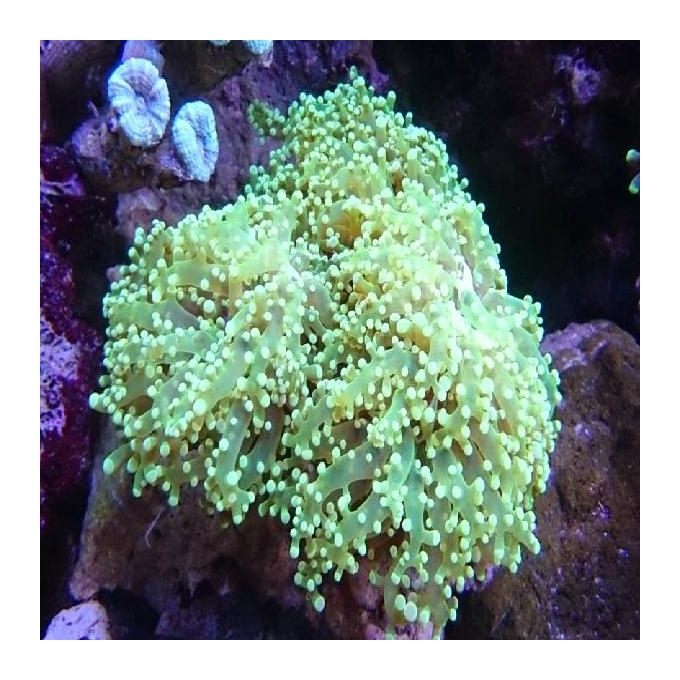 Coral Frogspawn wall
