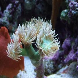 Coral duncanopsama 10 bocas