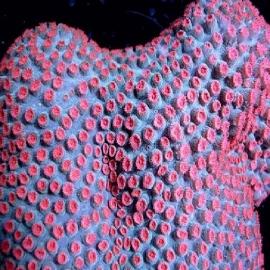 Coral cyphastrea meteoro muda
