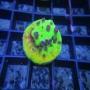 Coral cyphastrea alien pox