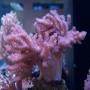 Coral colt soft peq - acr