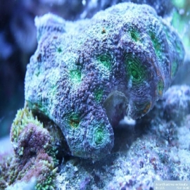 Coral acan enchinata md
