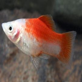 Plati red white