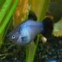 Plati azul
