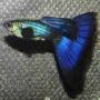 Lebiste moscow blue casal