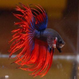 Betta crowtail