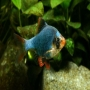 Barbus sumatra especial