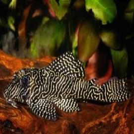 Cascudo zebra queen l 260