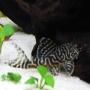 Cascudo leopardo l114