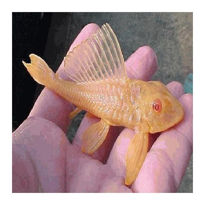 Cascudo albino gold