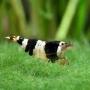 Camarão Black Cristol