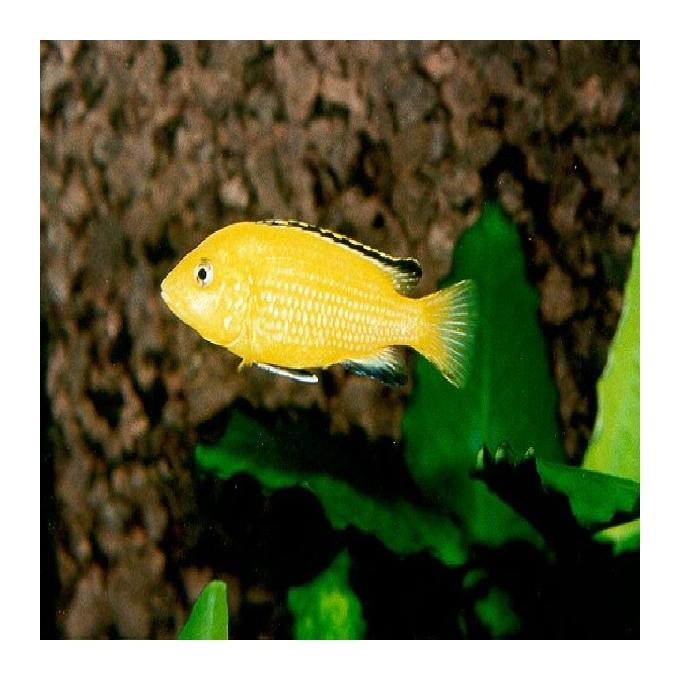 Cicl labidochromis yellow gr