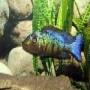 Cicl haplochromis rostratus md