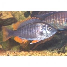 Cicl haplochromis kandango md