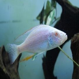 Cicl haplochromis compressiceps pq