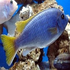Cicl ghephirochromis moorii md