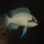 Cicl chalinochromis brichardi