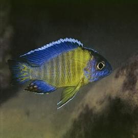 Cicl aulonocara blue neon peacock