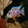 Cicl aulonocara orange blue
