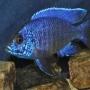 Cicl aulonocara nyassae blue