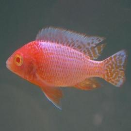 Cicl aulonocara fire fish albino
