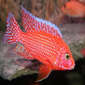 Cicl aulonocara fire fish