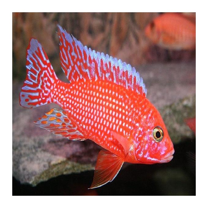 Cicl aulonocara fire fish