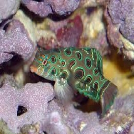 GOBY MANDARIN SPOTTED
