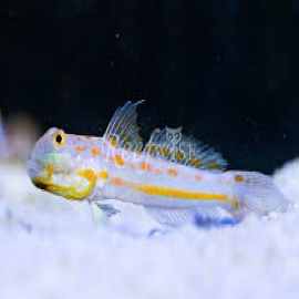 GOBY DAIMOND