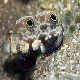 GOBY TWIN SPOT