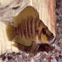 Cicl altolamprologus gold head pq