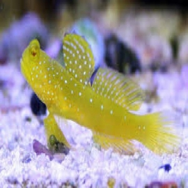 Goby Yellow Watchman Ma Peq