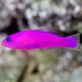 Pseudochromis Purple
