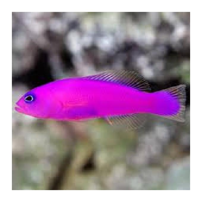 Pseudochromis Purple