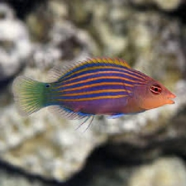 Wrasse Six Line Md