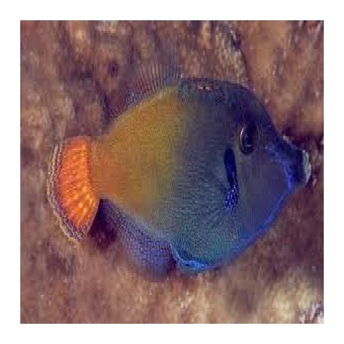 Filefish Red