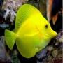 Tang Yellow Pq