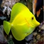 Tang Yellow Md