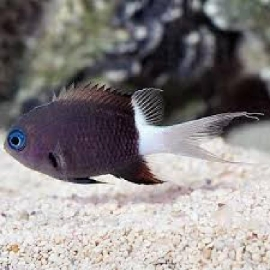 DON CHROMIS BICOLOR