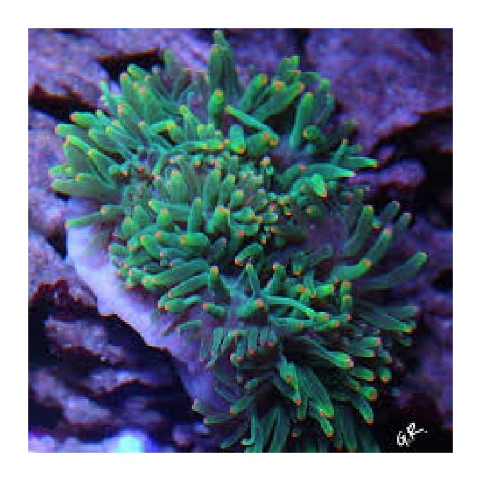 Anemona Bubble Green Orange Tip md