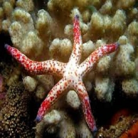 Estrela Linckia Verde/amarela