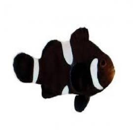 palhaco percula black misbar pq