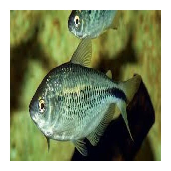 Peixe Alimento