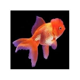 Kinguio Oranda Red gr